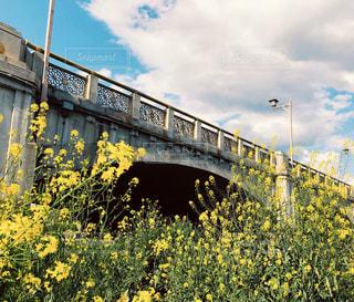 菜の花と橋の写真・画像素材[3153435]