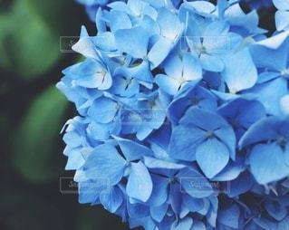紫陽花の写真・画像素材[3573846]