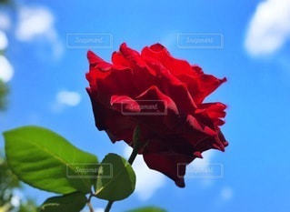 薔薇の写真・画像素材[3573855]