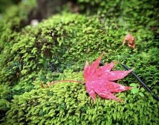 苔と紅葉の写真・画像素材[3726407]