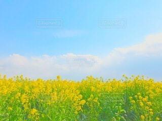 菜の花の写真・画像素材[4130656]
