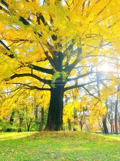 銀杏の大樹の写真・画像素材[4298551]