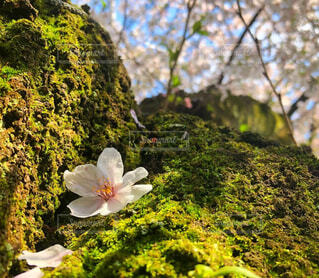 一輪の桜の写真・画像素材[4311892]