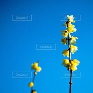 黄色い花のクローズアップの写真・画像素材[3153065]