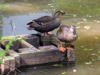 カップル,鳥,屋外,池,夫婦,鴨,野鳥,カルガモ,水鳥,つがい