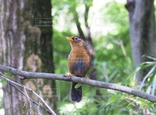 森林,鳥,木,屋外,緑,オレンジ,樹木,野鳥,囀り,ガビチョウ