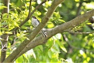 森林,鳥,木,屋外,森,緑,山,樹木,野鳥,エナガ,白い鳥