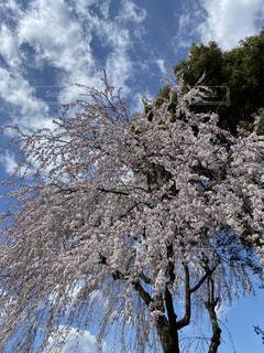空,花,春,樹木,桜の花,さくら