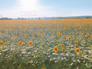 自然,空,花,ひまわり,景色,オレンジ