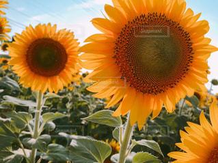 自然,花,夏,屋外,ひまわり,鮮やか,草木,ガーデン,フローラ