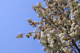 自然,空,花,春,屋外,青い空,鮮やか,樹木,草木,ガーデン,ブロッサム,フローラ