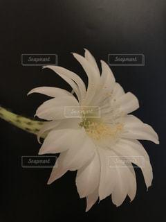 サボテンの白い花の写真・画像素材[3158221]