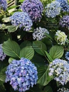 紫陽花の写真・画像素材[3376724]