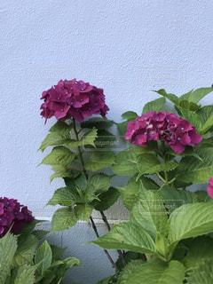 紫陽花の写真・画像素材[3376725]