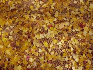 イチョウの絨毯の写真・画像素材[3712648]