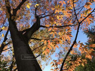 木を見上げるの写真・画像素材[3712654]