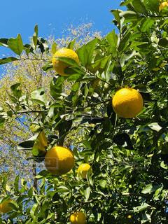 空と柑橘の写真・画像素材[3929749]
