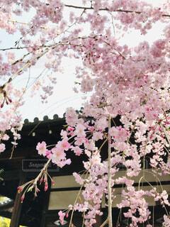 薄ピンクで綺麗の写真・画像素材[4232580]