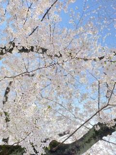 桜の季節の写真・画像素材[4293592]