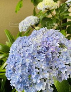 紫陽花の写真・画像素材[4557914]
