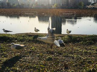 自然,風景,春,桜,動物,鳥,ビル,屋外,湖,夕暮れ,水面,池,夕方,飛ぶ,草,都会,上野公園,群れ,飛び立つ