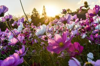 自然,花,秋,夕日,屋外,太陽,コスモス,鮮やか,樹木,夕陽,秋桜,金木犀,クリア