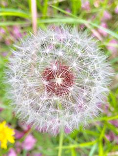 植物のたんぽぽ綿毛の写真・画像素材[3192735]