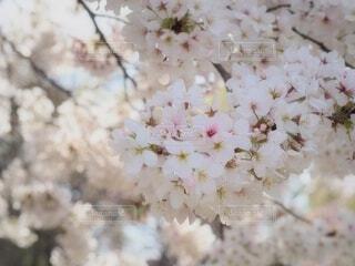満開の桜の写真・画像素材[4307451]