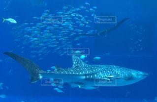 水族館,沖縄,美ら海水族館,ジンベエザメ,ブラックマンタ