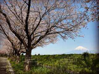 自然,風景,公園,花,春,桜,富士山,景色,cherry blossom,Spring,スプリング,Sakura,静岡県,mt.fuji,富士市