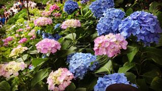 自然,花,夏,雨,ピンク,緑,散歩,紫陽花,雫,梅雨,6月,鎌倉,神奈川