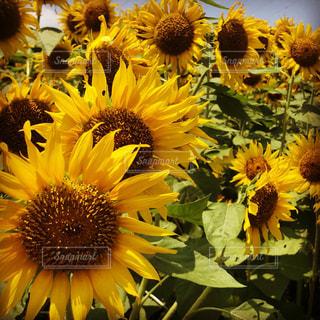 自然,風景,空,花,夏,ひまわり,黄色,景色,向日葵,花粉