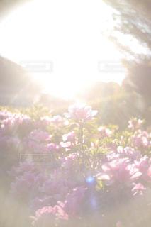 公園,花,屋外,日光,夕方,満開,逆光,夕陽,ブルーム,花写真,楽しい時間