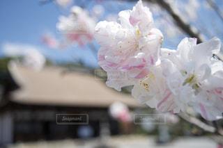 花,春,寺