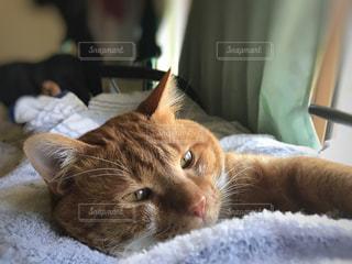 猫,動物,かわいい,寝転ぶ,ねこ,ペット,朝,茶トラ,寝起き,ネコ,もふもふ,ネコ科の動物