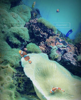動物,魚,熱帯魚,青,水族館,水面,水中,珊瑚,イソギンチャク,海底,コーラル
