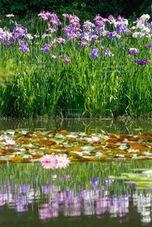 花,京都,紫,水面,池,平安神宮,リフレクション,睡蓮,ハナショウブ,花菖蒲,スイレン,白虎池,西神苑