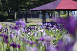 公園,花,屋外,紫,景色,石川県,ハナショウブ,花菖蒲,木場潟
