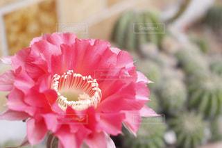 花,ピンク,ガーデニング,ピンクの花,サボテン,多肉植物,ガーデン,庭いじり