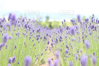花,花畑,紫,北海道,ラベンダー,富良野,香り,ラベンダー畑