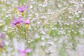 花,紫,水滴,露,雨上がり,しずく,滴,雨粒,空き地,草木,草むら,野花,庭石菖,ニワゼキショウ