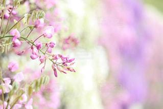花,ピンク,白,紫,藤,藤棚,GW,北九州,河内藤園,藤園,藤のトンネル
