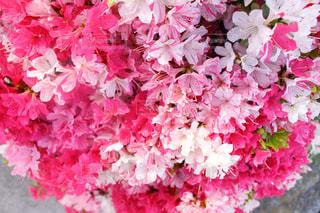 花,春,ピンク,白,花束,鮮やか,満開,ツツジ,草木,サツキ,植え込み,春色,クルメツツジ
