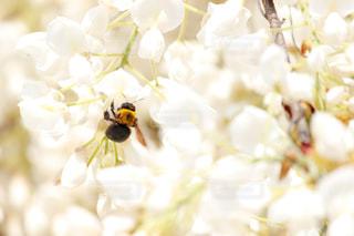 花,満開,藤,フジ,蜂,5月,ハチ,クマンバチ,ふじ,蜜,白藤