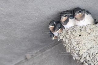 動物,鳥,こども,ツバメ,ひょっこり,巣,ツバメの巣,つばめ,5つ子
