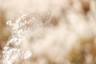 自然,秋,白,光,ススキ,草木,輝く,すすき,銀色