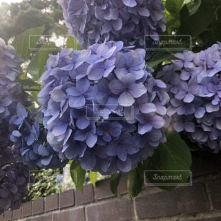 花,紫陽花,アジサイ