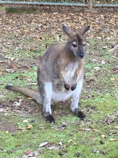 動物,屋外,かわいい,草,地面,たそがれ,カンガルー