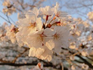 桜の花(夕方)の写真・画像素材[3163719]