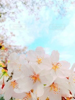 桜と空の写真・画像素材[3162839]